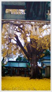 氏神さんの樹齢500年イチョウの木・撮影(た)